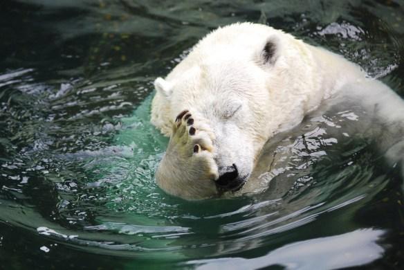 polar-bear-facepalm-big